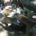 squirrel_monkeys_jungle